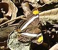 Adelpha fessonia (8745265805).jpg