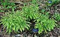 Adiantum aleuticum - RHS Garden Harlow Carr - North Yorkshire, England - DSC01372.jpg