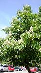 Aesculus hippocastanum in Skopje.jpg