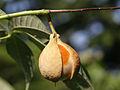 Aesculus parviflora 15.jpg