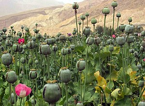 Poppy straw - Traditional method: fruits are scored