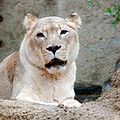 African Lion Panthera leo krugeri Female 2000px adjusted.jpg