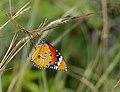 African Monarch (Danaus chrysippus) (12714866455).jpg
