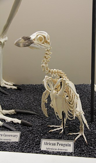African penguin - African Penguin Skeleton (Museum of Osteology).