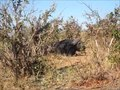 File:African buffalo (Syncerus caffer) in Botswana.webm