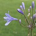 Agapanthus cultivar. Zaailing van Agapanthus Lilac Flash. (d.j.b.) 03.jpg