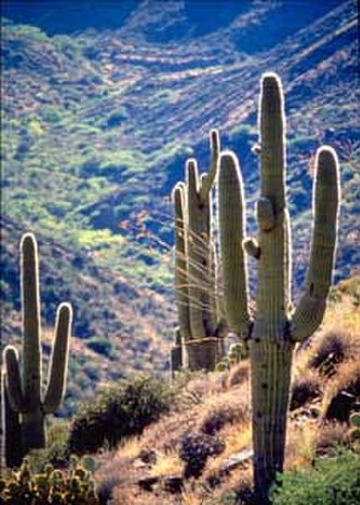 Southwestern United States - Saguaro cactus in the Sonoran Desert.