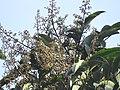 Aglaia spectabilis flowering2398.jpg