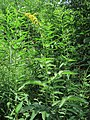 Agrimonia procera Kiev1.jpg