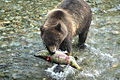 Alaskan Coastal Brown bear.....11.jpg