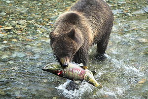 Chum salmon - Alaska Peninsula brown bear eating a Chum Salmon.