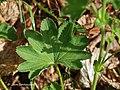 Alchemilla monticola leaf (04).jpg