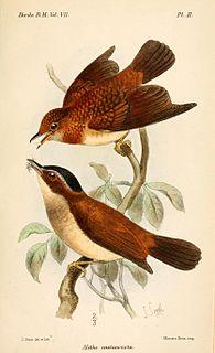 <i>Chamaetylas</i> genus of birds