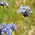 Allium caeruleum-IMG 4678.jpg
