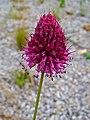 Allium spaerocephalon 003.JPG