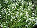 Allium triquetrum L. (AM AK328306-1).jpg