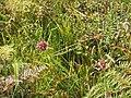 Allium vineale L. (AM AK299607-1).jpg