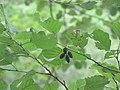 Alnus glutinosa 1 - crna jova.jpg