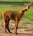 Alpaca in a field (2144665491).jpg