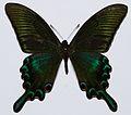 Alpine Black Swallowtail (Papilio maackii) (8419720097).jpg