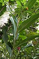 Alpinia purpurata 56zz.jpg