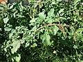 Amaranthus viridis sl3.jpg