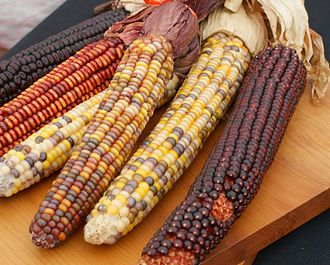 Lists of cultivars - Variegated ears of maize