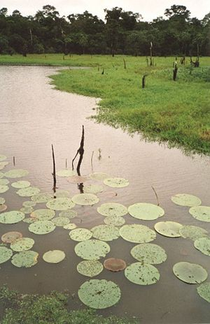English: Flooded forest in the Amazon basin, c...