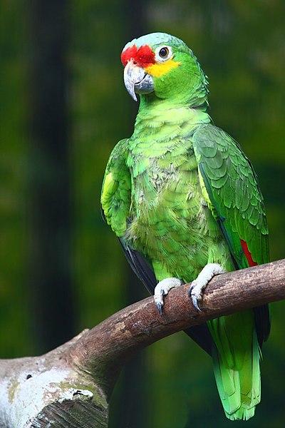 File:Amazona autumnalis -Jurong BirdPark-8b.jpg