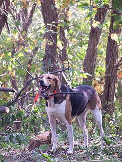 definition of foxhound