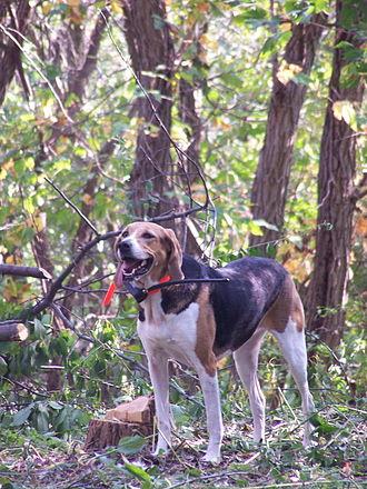 Foxhound - An American Foxhound