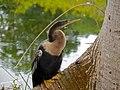 American Darter (Anhinga anhinga) female (6781401621).jpg