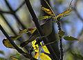 American Redstart (15248850816).jpg