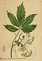 American medicinal plants (Plate 40) (6025953524).jpg