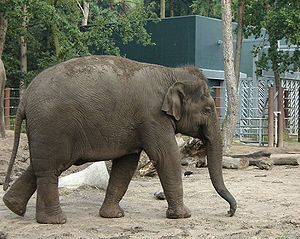 """Snout - Asian Elephant (Elephas maximus indicus). The extended proboscis is called the """"trunk"""" and is used for a wide range of purposes, including feeding, drinking, exploration, and social grooming."""