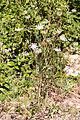 Ammi élevée-Ammi majus-Calvisson-20140806.jpg