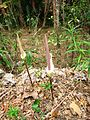Amorph variabilis flower IMG 0042.JPG