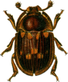 Amphotis marginata Jacobson.png