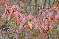 Amur Maple (Acer ginnala) - Waterloo, Ontario 2019-10-11.jpg