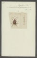Anacolus - Print - Iconographia Zoologica - Special Collections University of Amsterdam - UBAINV0274 032 06 0002.tif