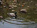 Anas platyrhynchos mallard pair at City of London Cemetery and Crematorium, Newham, England 06.jpg