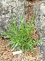 Anchusa capensis - University of California Botanical Garden - DSC08887.JPG