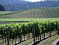 Anderson Valley vines.jpg