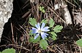 Anemone blanda - Yoğurt çiçeği 01.jpg