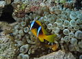 Anemone fish at Shelenyat Reef, Red Sea, Egypt -SCUBA -UNDERWATER -PICTURES (6522131085).jpg