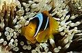 Anemonefish (clownfisch) im Roten Mer in Ägypten.DSCF4733WI.jpg