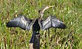 Anhinga (Anhinga anhinga) female drying in the sun.jpg