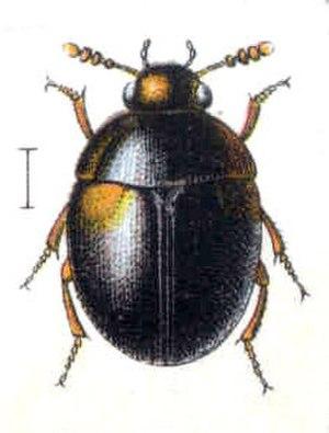 Leiodidae - Anisotoma humeralis