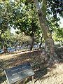 Anna Borkowska tree.jpg