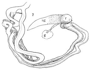 Reproductive system of gastropods - Image: Anostoma depressum reproductive system